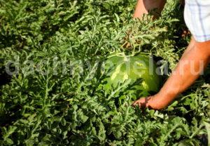 5 хитростей, которые помогут вырастить бахчу
