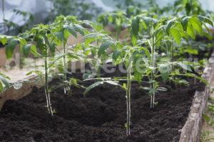 """11 """"нельзя"""" при выращивании рассады томатов"""