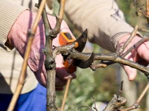 Как правильно формировать виноград для большого урожая