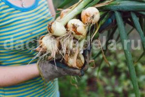 Как вырастить хороший урожай лука