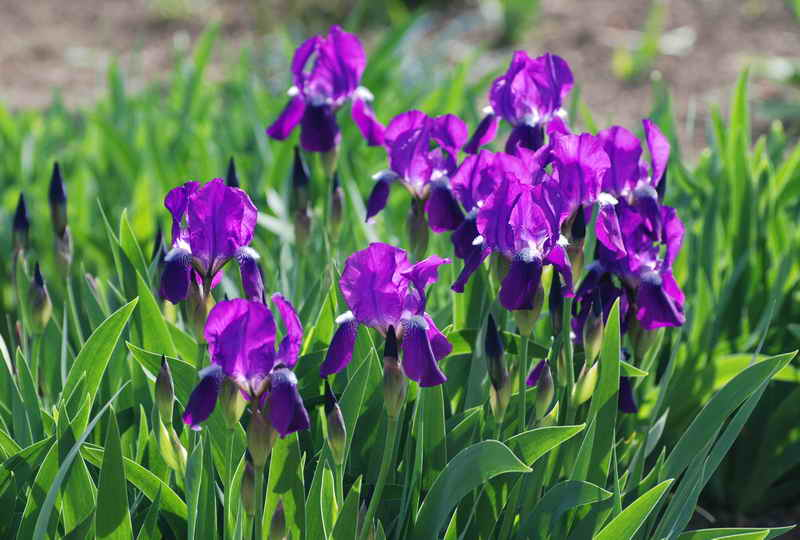 Ирисы - уход после цветения