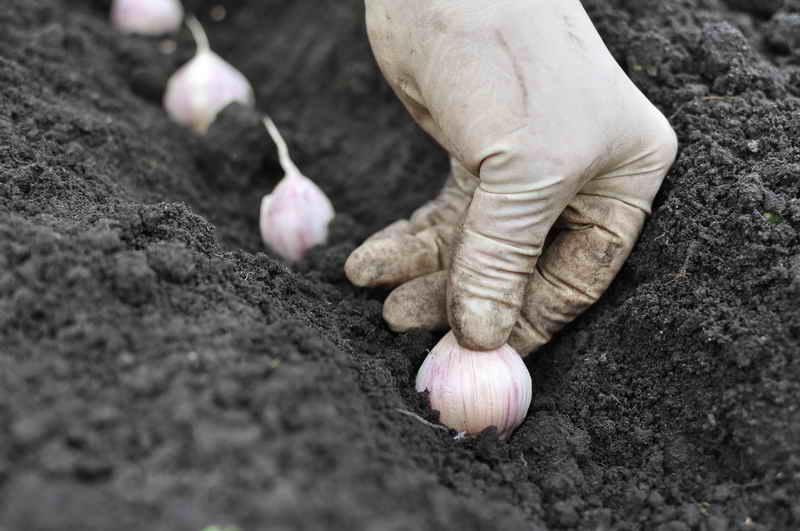 Секреты посадки озимого чеснока - советы садоводов