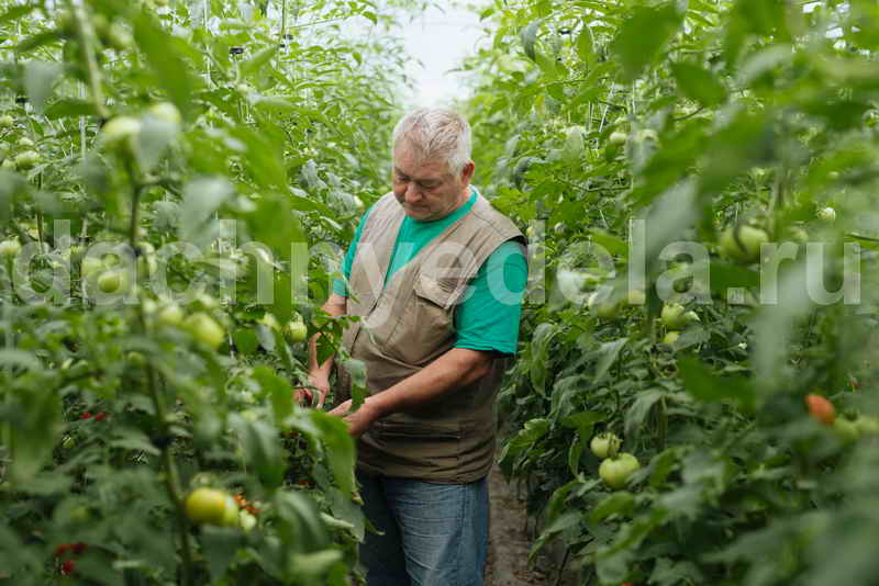 Ошибки в уходе за томатами летом