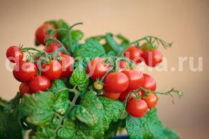 Домашние помидоры