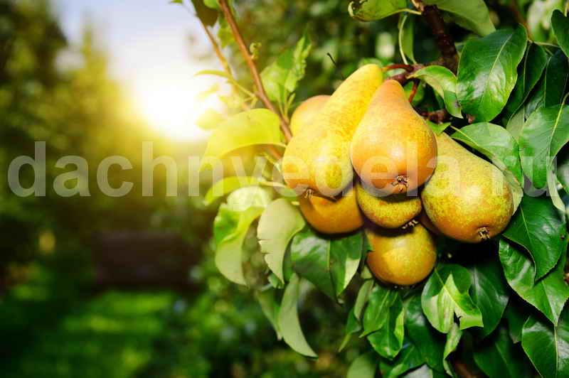 Как посадить грушу, чтобы плодоносила быстрее