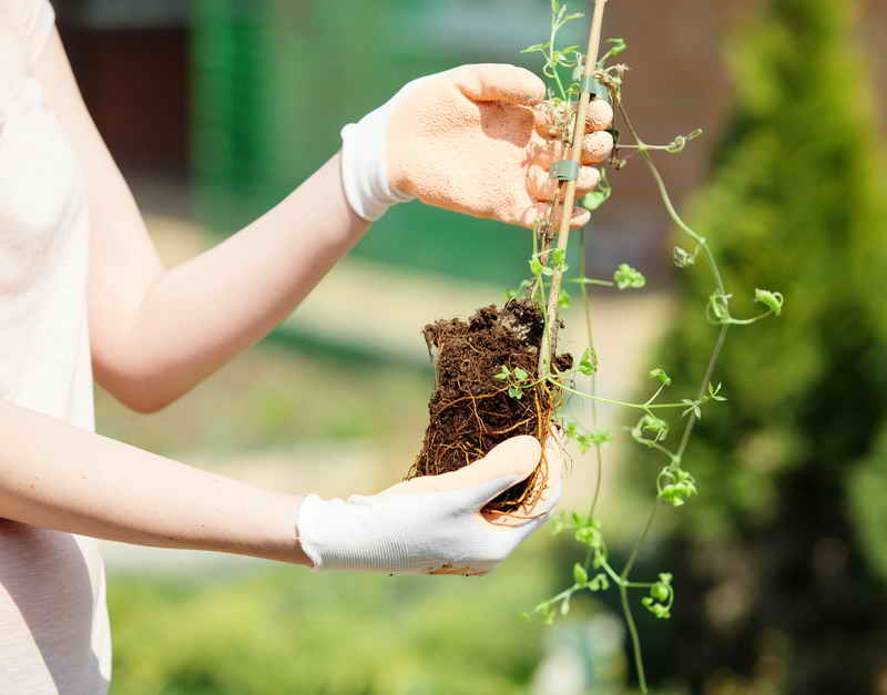 Заблуждения при выращивании клематисов