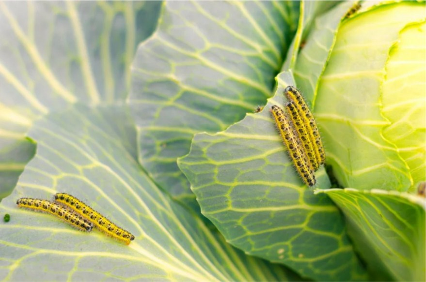 Опасные вредители капусты - как распознать и бороться