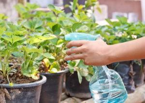 Марганцовка для растений