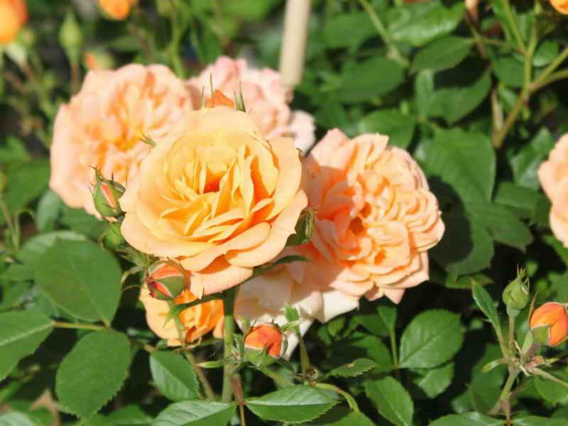 Правильный уход за миниатюрной розой после покупки