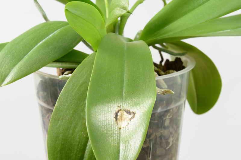 Почему не цветет орхидея?