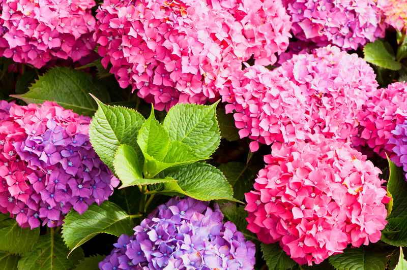 Гортензия - цветущая королева сада