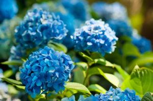 Выращиваем голубую гортензию