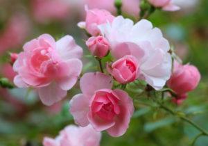 Выращиваем розы из подаренного букета