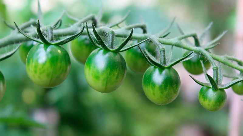 Заготовка зелёных помидоров советским способом