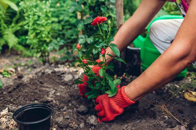 Розы из осенних черенков