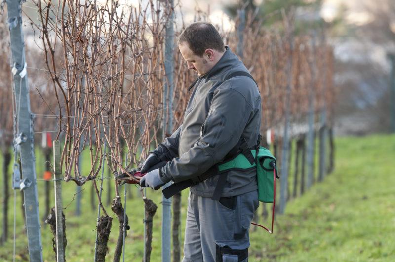 16 советов по выращиванию винограда