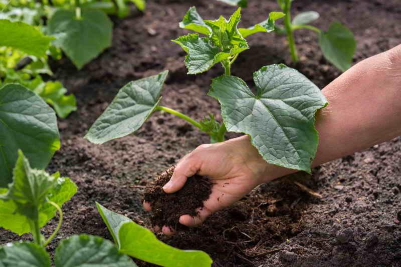 Почему огурцы не хотят расти. Причины и решения