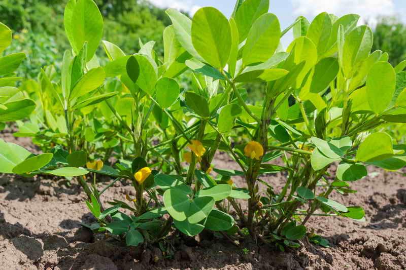 Как вырастить земляной орех - арахис