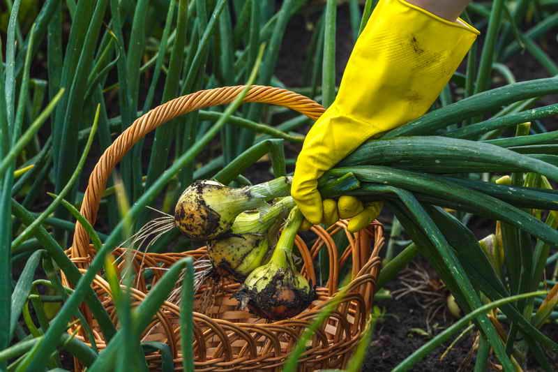 Секреты зеленого лука