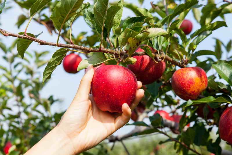 Осыпаются яблоки - подкормите дерево