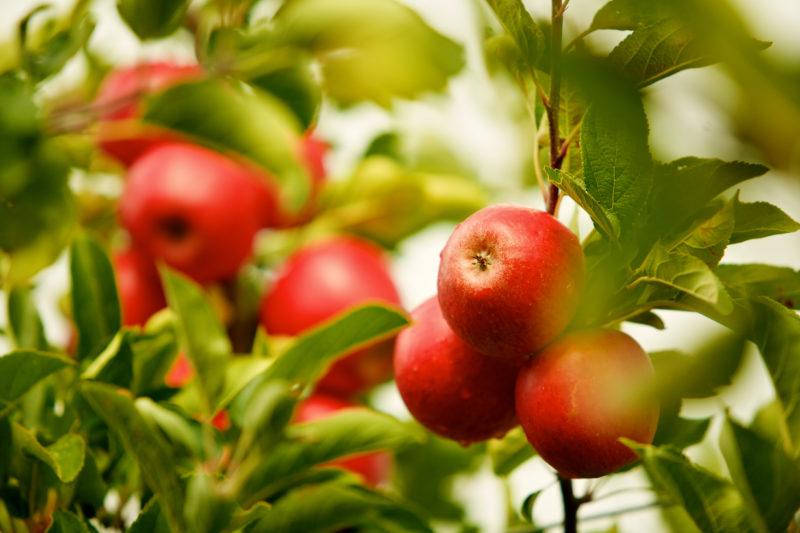 Защита яблонь зимой от зайцев и мышей