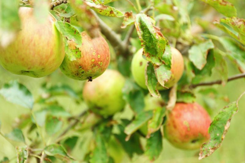 Как поэтапно омолодить старую яблоню – полезные советы для начинающих