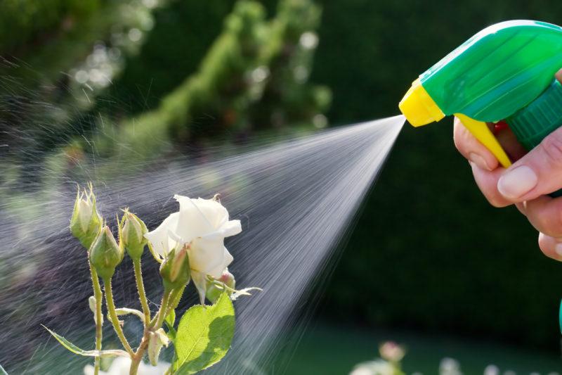 Чем обработать розы от тли: эффективные средства