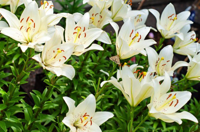 Когда и как подкармливать лилию для роскошного цветения