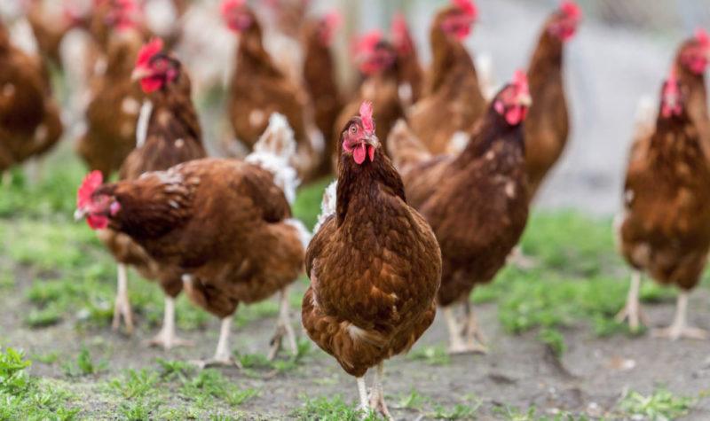 Почему куры едят снесенные яйца, и что с этим делать