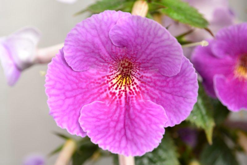 Ахименес: правила ухода для обильного цветения