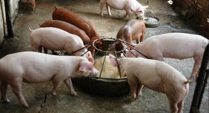 Меню для свиней: чем и как кормить животных