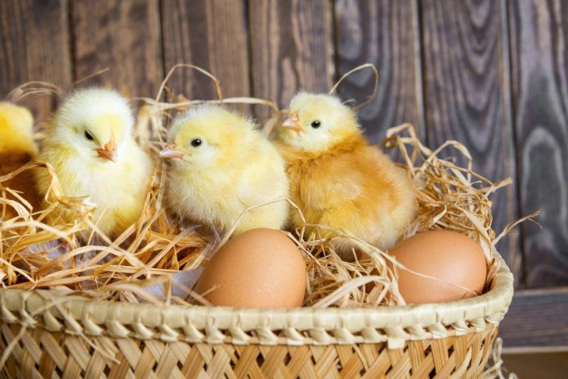 Здоровые цыплята: правильное кормление с первых часов жизни