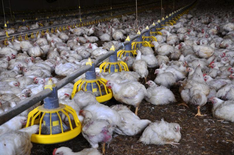 Откорм цыплят-бройлеров без гормонов и антибиотиков