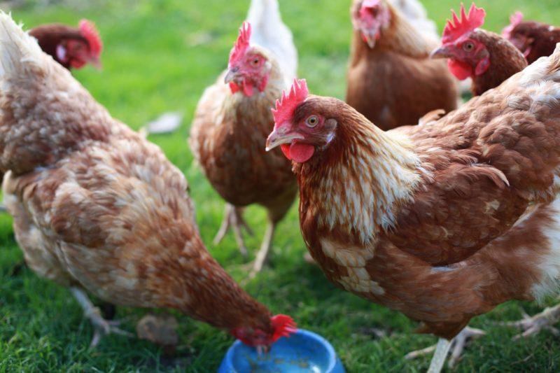 Домашний корм для кур-несушек: как заткнуть за пояс магазинные комбикорма