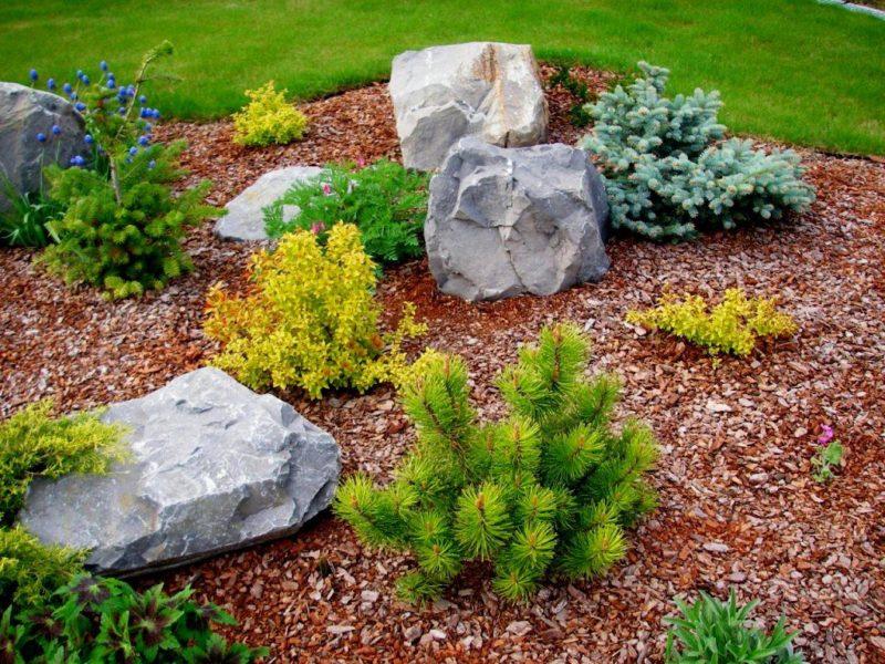 Горная сосна — вечнозеленая красавица в вашем саду