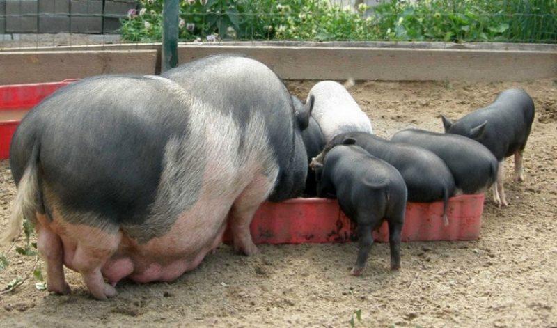 Какие стимуляторы использовать для набора веса свиней