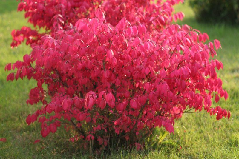 Бересклет: волшебное растение невероятной красоты