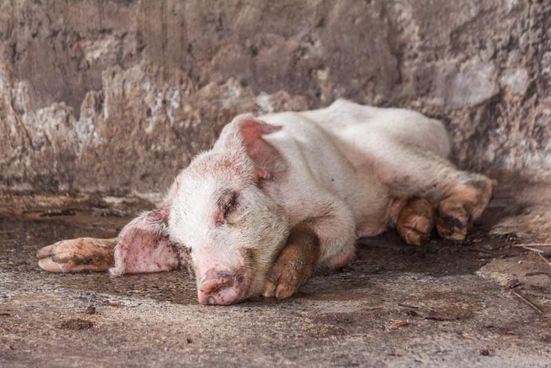 Лечение свиней и поросят от глистов