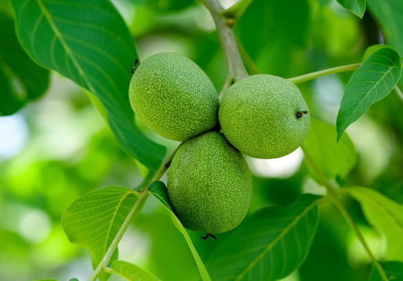 Как вырастить грецкий орех из плода