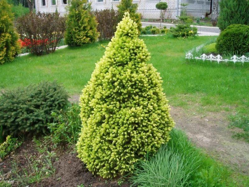 Канадская ель Коника — миниатюрная елочка для любого сада