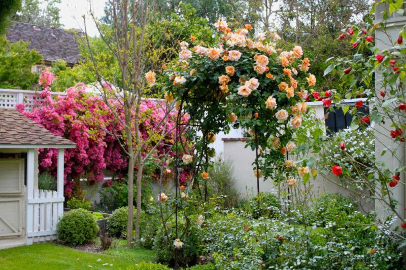 Сорта и виды чайной розы в декоре участка