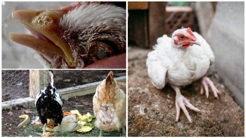 Гельминтоз у кур — как предотвратить и бороться