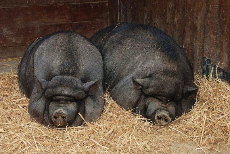 Вьетнамские вислобрюхие свиньи в фермерском хозяйстве