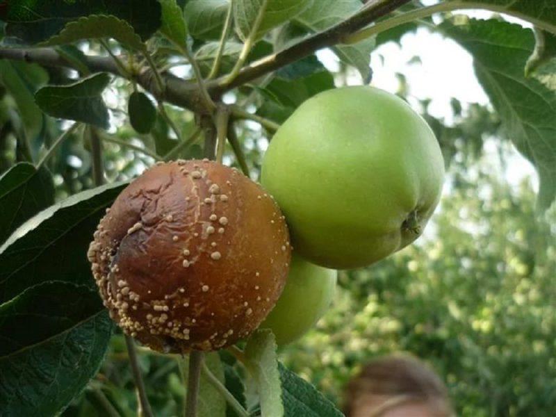 Спасение урожая при плодовой гнили у яблонь
