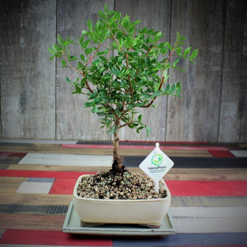 Фисташка: как вырастить дерево в домашних условиях