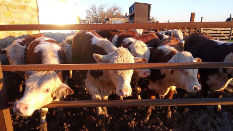 Откорм бычков на мясо, рекомендованные рационы и особенности питания