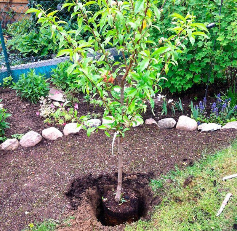 Персик из косточки: посадка, уход, выращивание