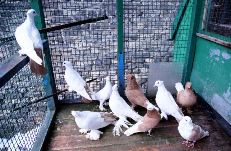 Особенности кормления голубей в домашнем хозяйстве