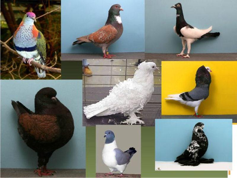 Разнообразие породистых голубей