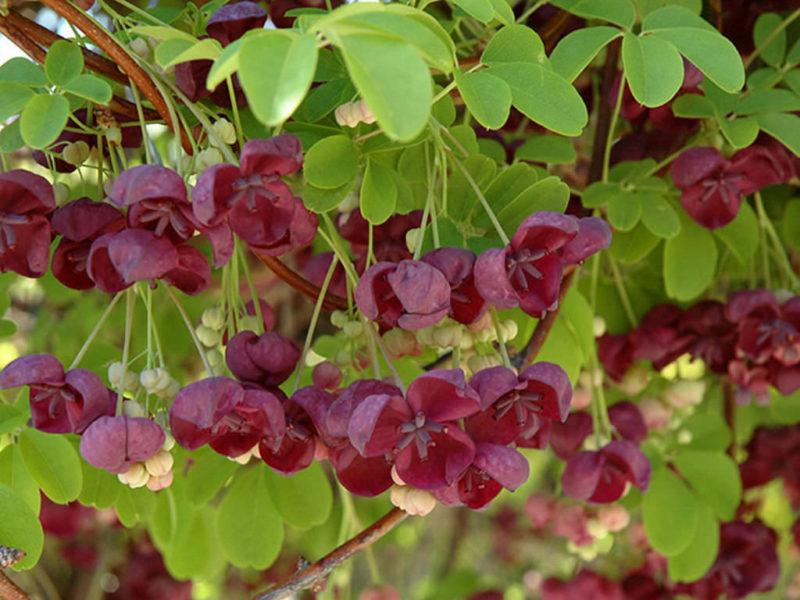 Многолетние вьющиеся растения (лианы) — отличный элемент декора для дачного участка